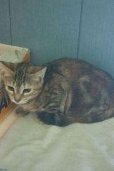 Gatito sin parte de su pata trasera en la calle en adopción