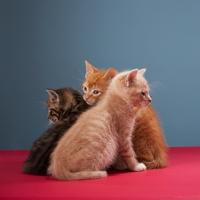 Gatitos en adopción La Estrella Animal SMV