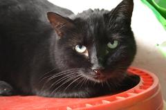 Coco gato muy mimoso en adopción