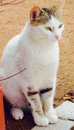 Gato siamés en adopción